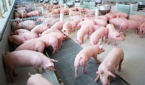 Canada đã vượt Mỹ trở thành nhà cung cấp thịt lợn hàng đầu cho thị trường Trung Quốc